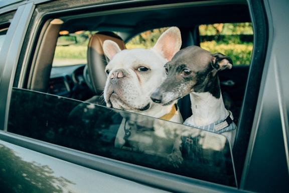 車の乗る犬たち